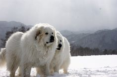 Great Pyrenees | Check Out The Best Dogs for Cold Weather! | Homesteading Pets by Pioneer Settler at http://pioneersettler.com/best-dogs-cold-weather/