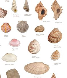 Seashells on Sanibel Island FL Seashell Identification, Seashell Crafts, Seashell Jewelry, Shell Ornaments, Nature Beach, Beach Pictures, Beach Pics, Shell Beach, Sanibel Island