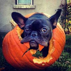"""I'm tryin'a eat my way out of this Pumpkin""""... """"oh yeah, and I'm also a Vampire, aaaaaargh"""", funny French Bulldog on Halloween."""