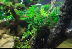 Polypodium vulgare ... Island Paludarium 360° - Création de A à Z