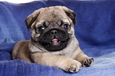 Best Dogs And Puppies Funny Awesome Ideas Cute Corgi, Cute Pugs, Adorable Puppies, Puppy Care, Pet Puppy, Cute Puppy Videos, Puppy Pictures, Puppy Pics, Animal Pictures