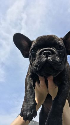 Black French Bulldog Puppy, now living in Oregon - Frenchie's - Puppies Cute Bulldogs, Bulldog Puppies For Sale, Cute Dogs And Puppies, Baby Dogs, Photos Of Puppies, Doggies, Pet Dogs, Baby Bulldogs, Black French Bulldogs