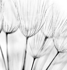 Black and white abstract dandelion flower ,Abstract dandelion flower background. Black and white abstract dandelion flower , Mural Floral, Flower Mural, Floral Wall, Black And White Posters, Black And White Wall Art, Black And White Abstract, Black White, White Dandelion, Dandelion Flower