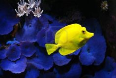 I always liked these yellow fish!