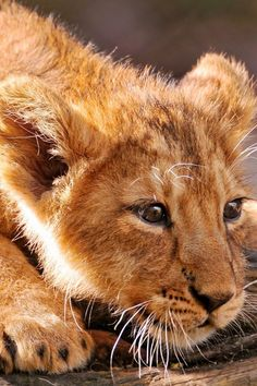 Adorable Fluffy Baby Lion Cub