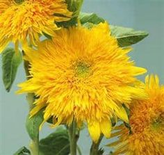 Teddy Bear Sunflower - I bought these exact flowers from the farmers market this weekend and was wondering what they are called. Thanks Lovely for sharing the info Happy Flowers, My Flower, Flower Power, Beautiful Flowers, Sunflowers And Daisies, Types Of Flowers, Mellow Yellow, Trees To Plant, Beautiful Gardens