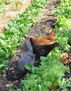 Gardening with Chickens :)