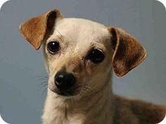 Chihuahua/Dachshund Mix Dog for adoption in San Diego, California - DAISY