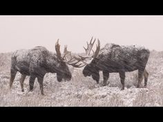Epic Scene of Several Bull Moose Sparring in Heavy Snowstorm [VIDEO]