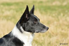 Border Collie Kim Short Hair Smooth Coat Rough Coat Black and White Sheepdog Working Dog Stock Dog Working Collie Beautiful Short Haired Border Collie, Border Collie Mix, Rough Collie, Collie Dog, Woodland Creatures, Working Dogs, Dog Friends, Dog Love, Dachshund
