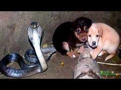 (45) Increible, Cobra Rey cuida a cachorros - YouTube
