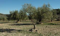 Nuestro paisaje de olivos