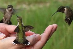 hummingbird love.  How did she get them to land in her hand?  I would love this.