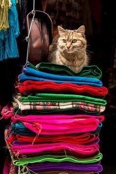 """mostlycatsmostly: """"King Cat, La Paz (via yoski-nomura) """""""