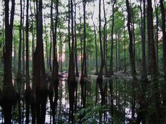 Bear Creek Swamp in  Alabama. I am kinda fixated on swamps lately. I find them so peaceful, mysterious and beautiful.