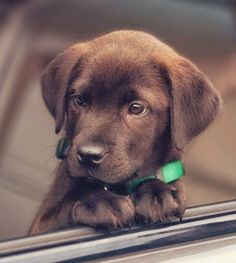"Labrador retrievers, or ""Labs"" as they've become fondly known, are one of the most popular dog breeds of our time. Super Cute Puppies, Cute Dogs And Puppies, Little Puppies, Baby Dogs, Doggies, Buy Puppies, Really Cute Puppies, Cutest Dogs, Baby Animals Pictures"
