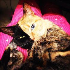 Non Venus n'est ni Hamilton le Hipster Cat, ni Fukumaru, et encore moins Lil Bub ou Grumpy Cat. Mais elle possède avec ces derniers deux caractéristiques communes : les yeux bicolores du chat blanc de Misao - ce qui est beaucoup plus rare pour une robe &qout;écaille de tortue&qout; - et sa réplique iden…
