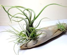 Air Plants on Driftwood: Mounted Tillandsias on Tabletop Garden.