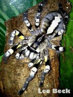 Hold/own a tarantula! This is a Poecilotheria Regalis Tarantula. They are pretty but they also have an attitude. Spiders And Snakes, Large Spiders, Cool Bugs, Itsy Bitsy Spider, Bugs And Insects, Weird Insects, Beautiful Bugs, Mundo Animal, Reptiles And Amphibians