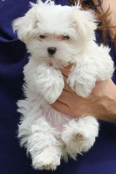 A dog breed who's gentle and fearless, the Maltese greets everyone as a friend. His glamorous white coat gives him a look of haughty nobility, but looks can be deceiving. Very cute and small dog.