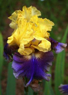 Iris 'jaune fonce et bleu'