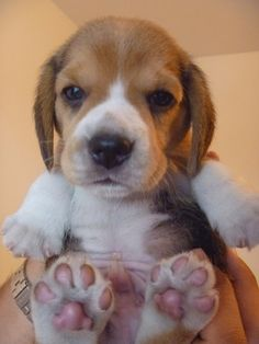 Little Beagle Precious Puppy Paws!