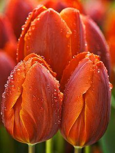 Orange tulips in the rain All Flowers, Orange Flowers, Amazing Flowers, My Flower, Spring Flowers, Beautiful Flowers, Purple Tulips, White Tulips, Beautiful Eyes