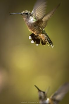 """In Air"" by AniGold, hummingbird, nature, birds, wildlife,"