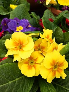 Primrose, pansies and alyssum are just a few of the cold-tolerant early spring flowers making their appearance in Home Depot stores and gardens. Join Pam of House of Hawthornes on a virtual tour of the first flowers of spring.    @HouseHawthornes