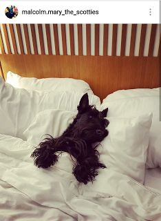 Scottish Terriers of Instagram More