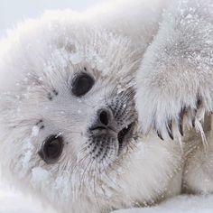 A little harp seal