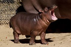 San Diego's very own baby Hippo