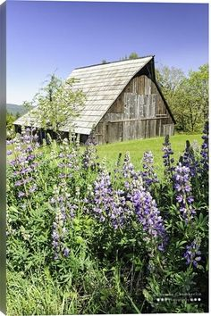 500px Art / Lupines and Barn by Thomas Chamberlin