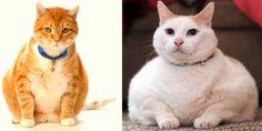 """La cantidad de calorías que ingieren los gatos y la falta de ejercicio o sedentarismo pueden provocar un desorden que puede llevarlo a la obesidad, acortando incluso sus expectativas de vida. """"Lamentablemente, este trastorno nutricional es muy común en gatos, ya que son mascotas a..."""