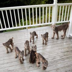 Tim Newton In Alaska Wakes Up To Find Entire Family Playing On His Porch https://fineartamerica.com/featured/rare-visitors-23-tim-newton.html