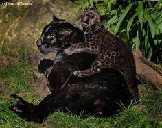 Blsck Panther & Cub