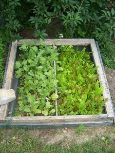 I used an old window frame to make this cold frame in my garden. Great for starting lettuces and cold weather vegetables. #gardening #coldframe #spring