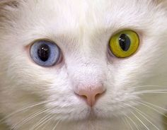 This is Speedy the domestic cat, who was born with odd-coloured eyes - one is blue and the other is gold. Speedy has a feline form of complete heterochromia, a condition that most commonly affects white-coloured cats. Speedy is also deaf.  Picture: Lorraine Hudgins / Rex Features