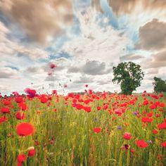 Poppy fields by Torsten-Hufsky on DeviantArt Blue Dream, All Flowers, Beautiful Sky, Garden Paths, Poppies, Vineyard, Nature Photography, Poppy Fields, Plants