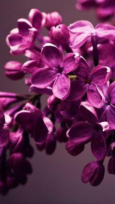Magenta Lilacs ~ Ana Rosa