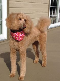 Standard Poodle Adèle.
