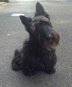 Scottish Terrier Puppy, Terrier Dogs, Scott Terrier, Unusual Dog Breeds, Fluffy Cat, Rainbow Bridge, Dog Training Tips, Westies, Little Dogs