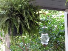 I learned this today: Take your outdoor hanging ferns down once a week. Pull them out, plunk them in a bucket of water w/fertilizer for a few hours. This will help prevent the leaves from turning brown and crispy.