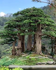 Promoting and Expanding the Bonsai Universe Bonsai Wire, Bonsai Plants, Bonsai Garden, Succulents Garden, Air Plants, Cactus Plants, Bonsai Forest, Forest Garden, Tree Forest
