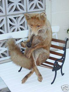 taxidermy OLD RETIRED  FOX
