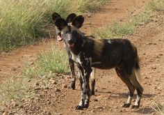 Wild dog waiting for the rest before heading back into the bush at Loisaba Wilderness, Laikipia, Kenya.  22.7.12     https://www.facebook.com/media/set/?set=a.10151341016480008.813729.10150107915730008=3