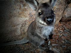 a wittle baby wallaby. Gosh I wanna go to Aussie Land so bad when I see stuff like this!