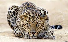 Затаившийся леопард