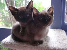 Please contact us for any enquiries - #kitty - See More Tops Burmese Cat Breeds at Catsincare.com!