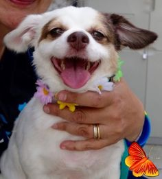 Manhattan Center SWEETIE – A1090427 FEMALE, WHITE / BROWN, YORKSHIRE TERR / CHIHUAHUA SH, 5 yrs OWNER SUR – EVALUATE, NO HOLD Reason OWN EVICT Intake condition UNSPECIFIE Intake Date 09/19/2016 http://nycdogs.urgentpodr.org/sweetie-a1090427/